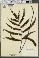 Image of Adiantum melanoleucum