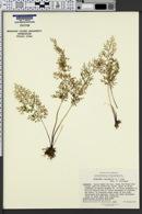 Image of Anogramma leptophylla