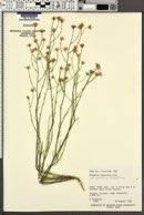 Erigeron utahensis var. sparsifolius image