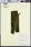 Asplenium nidus image