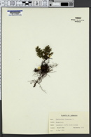 Cheilanthes pteridioides image