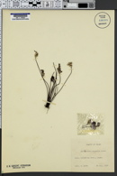 Cheilanthes argentea image