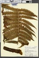 Cibotium hawaiense image