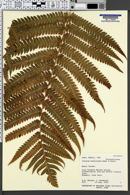 Image of Cibotium hawaiense