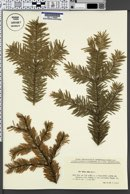 Image of Abies alba