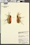 Echinocactus polycephalus var. xeranthemoides image