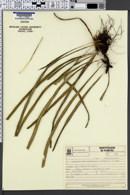 Image of Campyloneurum aglaolepis