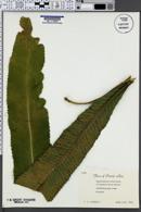 Image of Campyloneurum latum