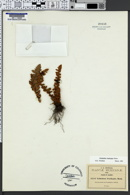 Cheilanthes brachypus image