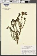 Image of Cordylanthus orcuttianus
