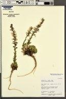 Gilia stenothyrsa image