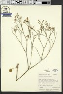 Eriogonum batemanii image