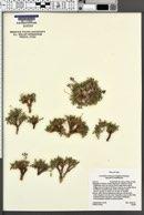 Lomatium minimum image