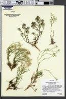 Lepidium montanum var. claronense image