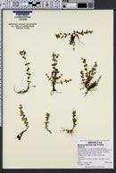 Hypericum anagalloides image