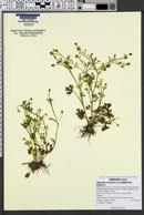 Ranunculus sceleratus var. multifidus image
