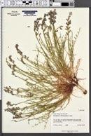 Astragalus moencoppensis image