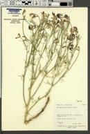 Image of Astragalus woodruffii