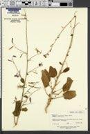 Image of Chylismia megalantha