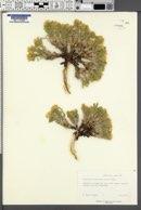 Cryptantha jonesiana image