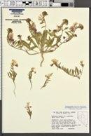 Eremothera boothii subsp. alyssoides image