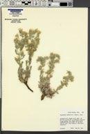 Cryptantha wetherillii image