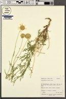 Gaillardia flava image