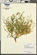 Lorandersonia salicina image