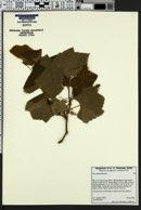 Image of Vitis girdiana