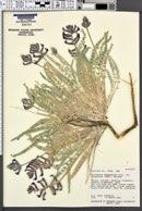 Astragalus mollissimus image