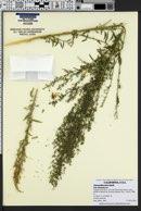 Chenopodium hians image