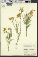 Astragalus coltonii var. moabensis image