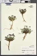 Astragalus desperatus var. desperatus image