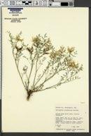 Astragalus columbianus image