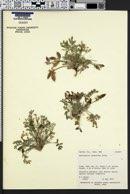 Astragalus cymboides image