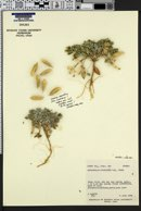 Astragalus cymboides image