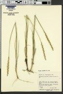 Pseudoroegneria spicata f. spicata image