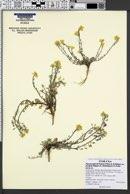 Physaria kingii var. parvifolia image