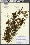 Ranunculus uncinatus image