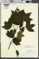 Image of Acer x varbossanium