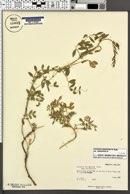 Lathyrus brachycalyx subsp. brachycalyx image