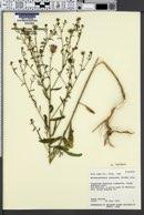Machaeranthera canescens var. canescens image