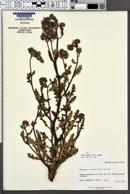 Phacelia crenulata var. crenulata image