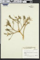 Psorothamnus thompsoniae var. thompsoniae image