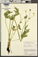 Ranunculus orthorhynchus image