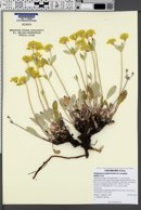 Eriogonum arcuatum var. arcuatum image