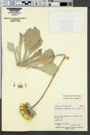 Enceliopsis argophylla image