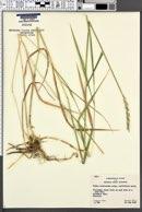 Leymus triticoides image