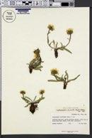 Haplopappus clementis image