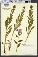 Erigeron speciosus var. uintahensis image